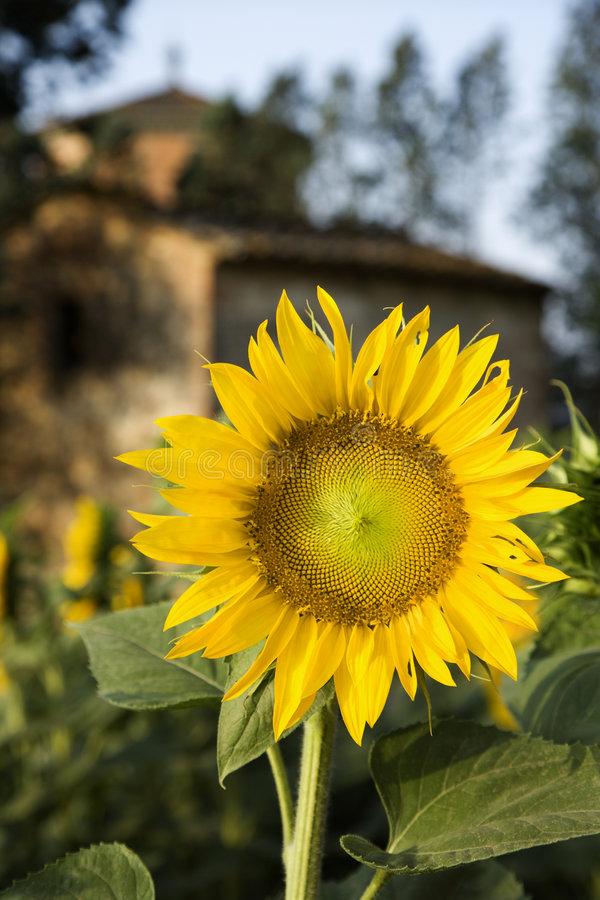 Sunflower with building in Tuscany, Italy. stock photo