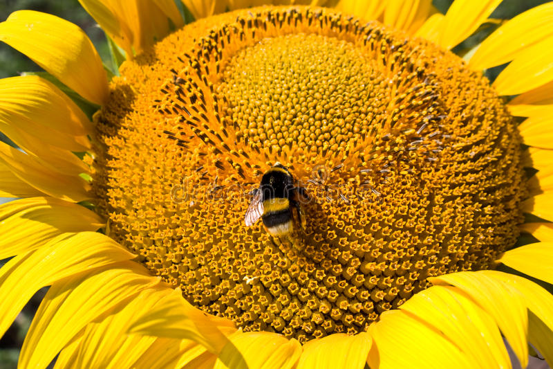 Download Sunflower And Bumblebee Royalty Free Stock Images - Image: 11257799