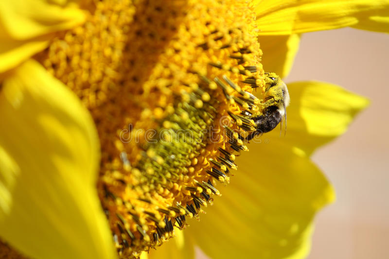 Download Sunflower and bumblebee stock photo. Image of season - 11286012