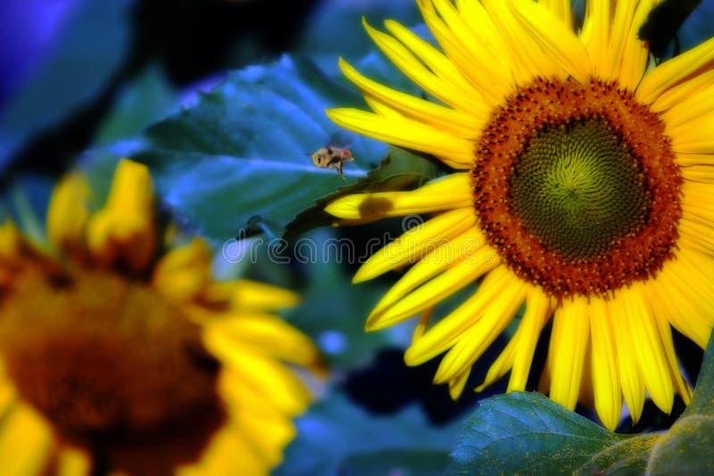 Sunflower Bumblebee royalty free stock image