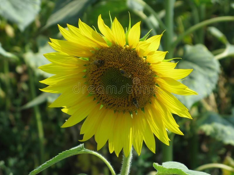 Sunflower and bumblebees. Flowering sunflower in the field and bumblebees on them stock photography