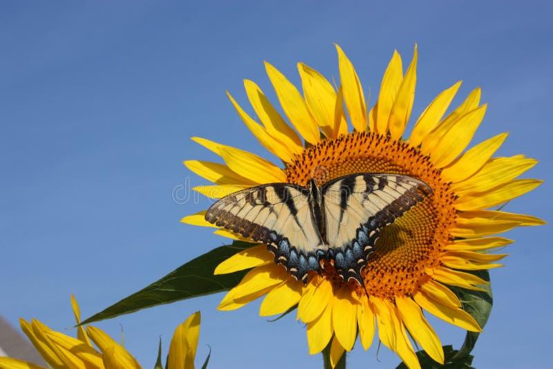 Sunflower & Butterfly stock photo