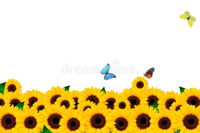 Sunflower and butterfly royalty free stock photo