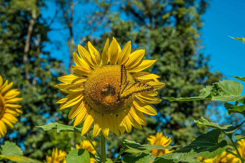 Sunflower with a butterfly and bees stock photos