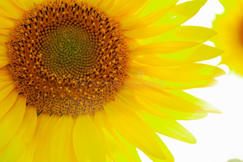 Sunflower circle big yellow flower warm Background royalty free stock photos