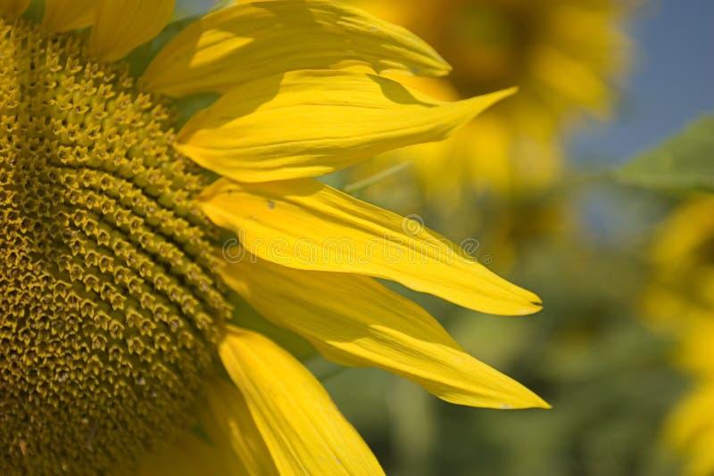 Sunflower Close-up Stock Photos