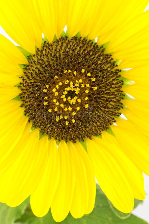 Download Sunflower close-up stock image. Image of petal, flower - 25642119