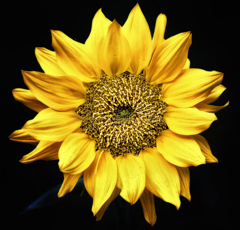 Download Sunflower Close up stock photo. Image of black, details - 26665876