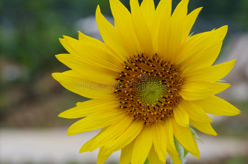 Sunflower. This is a close-up of the sunflower royalty free stock images