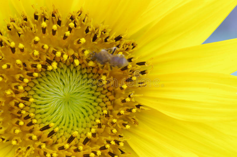 Sunflower. This is a close-up of the sunflower royalty free stock photo