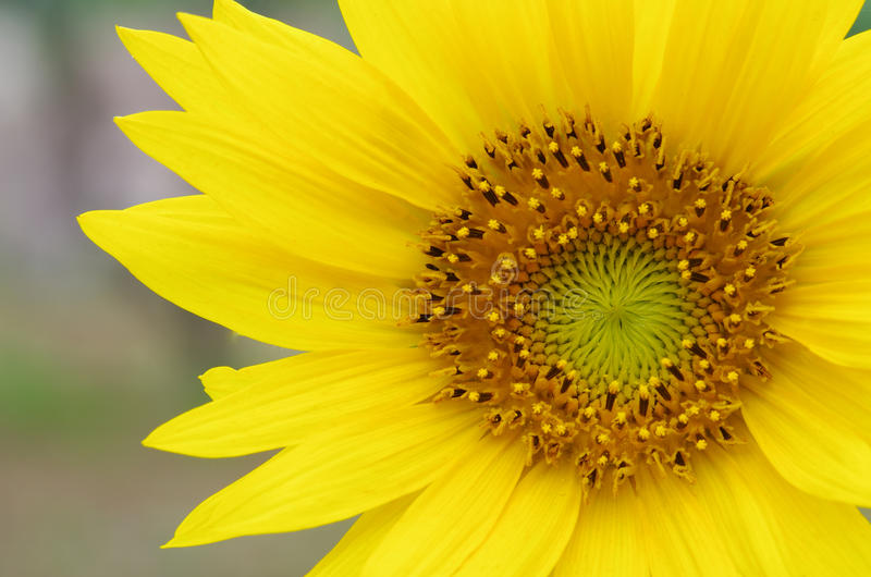 Sunflower. This is a close-up of the sunflower stock image
