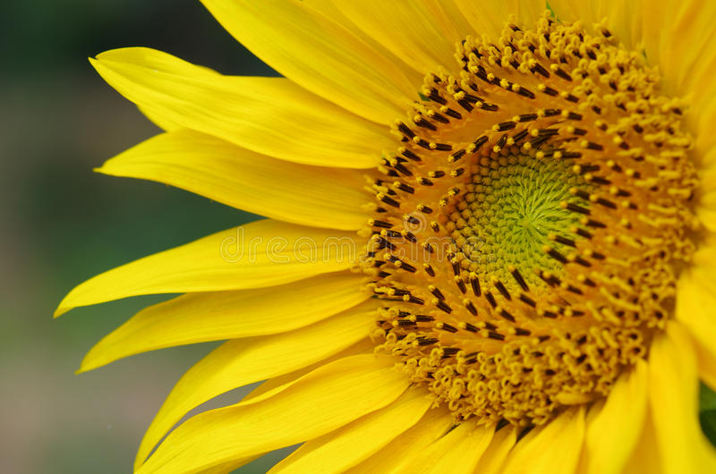 Sunflower. This is a close-up of the sunflower royalty free stock photos