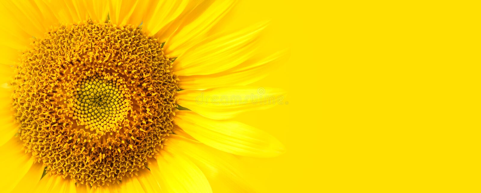Sunflower close up details on yellow banner wide background macro photo. Concept for summer, sun, sunshine, summer holidays travel royalty free stock image