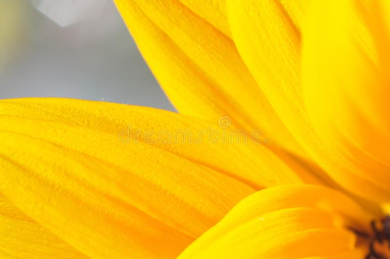 Sunflower close up. Extreme macro shot. Abstract background with sunflower petals royalty free stock images