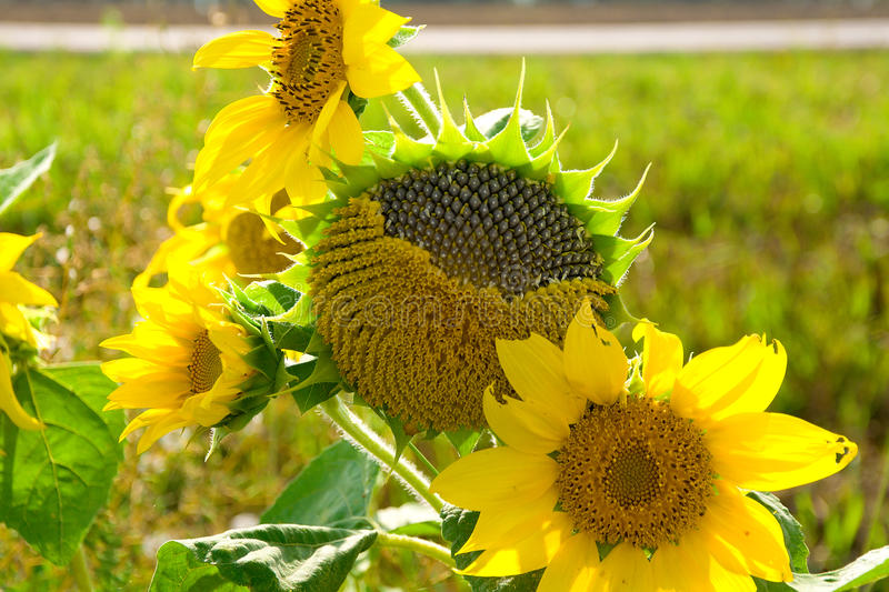 Sunflower close-up. horizontal photo. Blooming sunflowers and ripe close-up. horizontal photo royalty free stock image