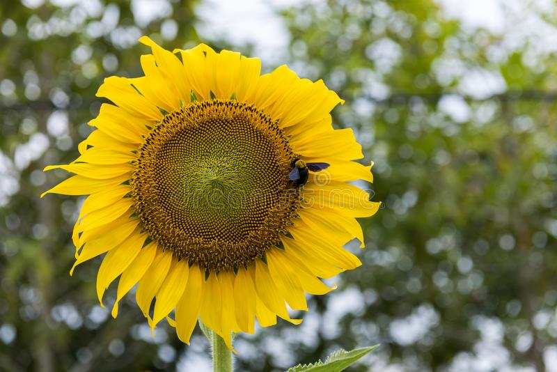 Sunflower close-up with insect royalty free stock photography