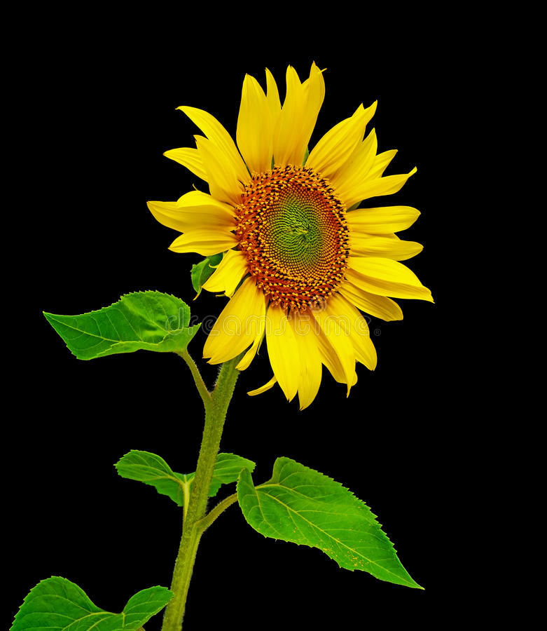 Free Sunflower Close-up On A Black Background Royalty Free Stock Photography - 20448127