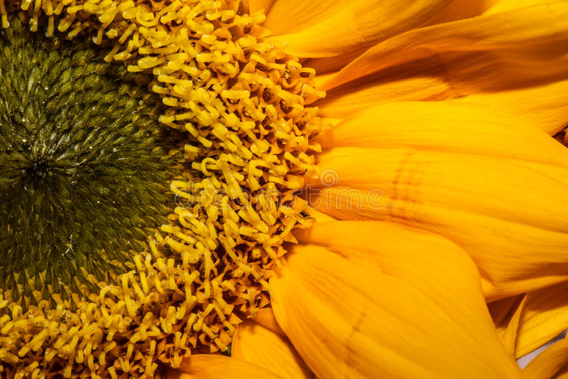 Sunflower Close Up stock image