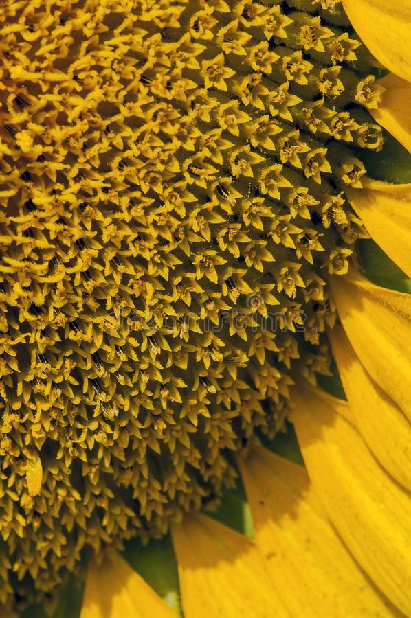 Close up of a sunflower head. stock images