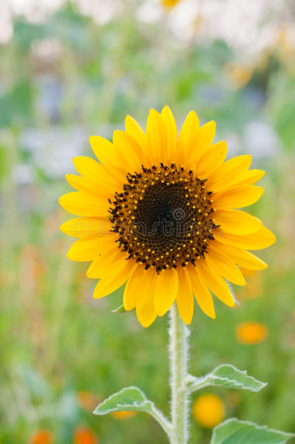 Download Sunflower Closeup In The Garden Stock Image - Image: 24149077