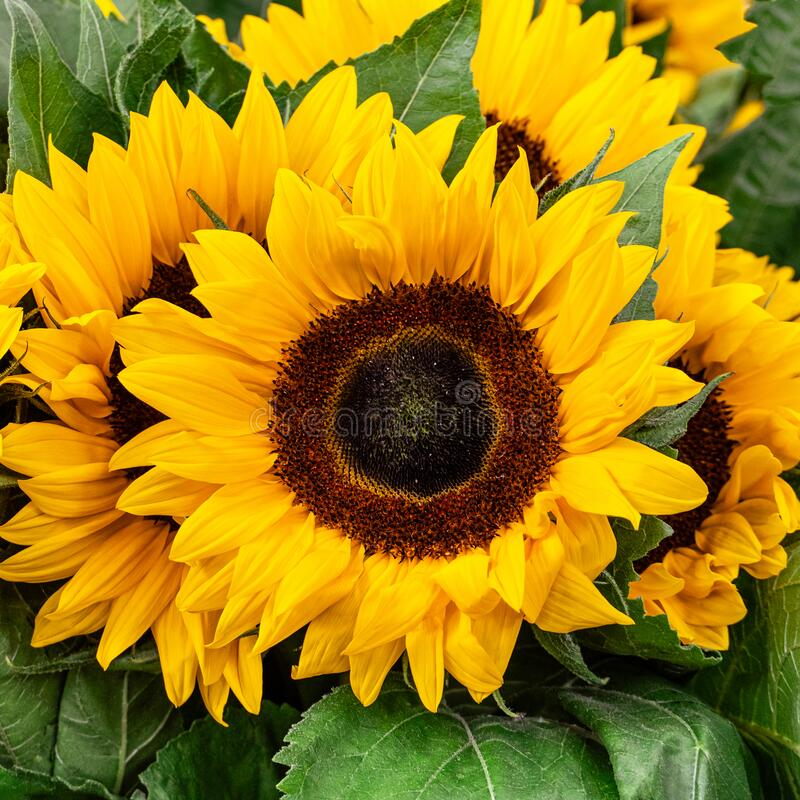 Free Sunflower Closeup Isolated On Yellow Green Background For Greetings Cards And Design Elements Royalty Free Stock Image - 189261166