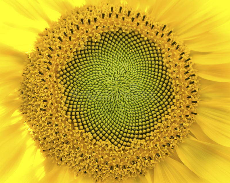 Download Sunflower closeup stock image. Image of image, daisy - 31360555