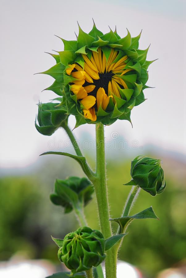 A sunflower and a couple little buddies just opening up to bloom. stock photos