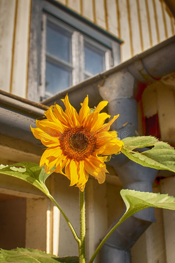 Sunflower by decay house royalty free stock photos