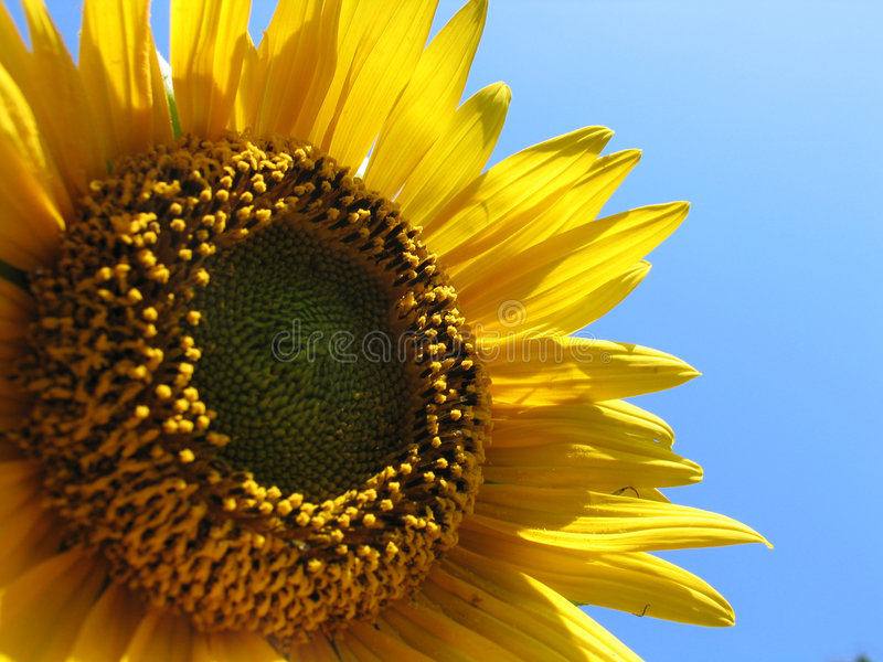 Download Sunflower detail stock image. Image of nature, green, bloom - 630835