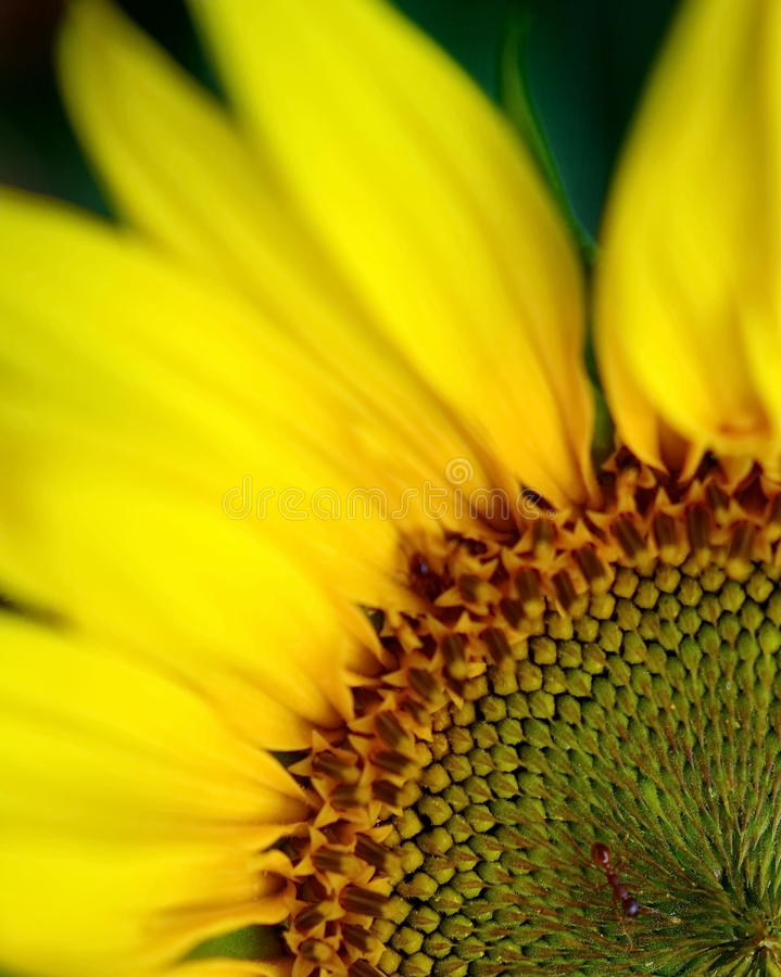 Sunflower detail stock image