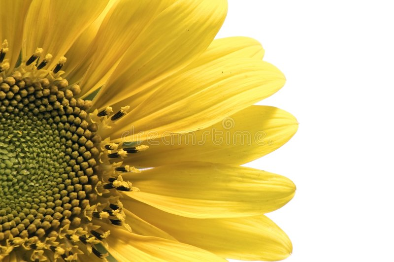 Sunflower detail isolated stock images