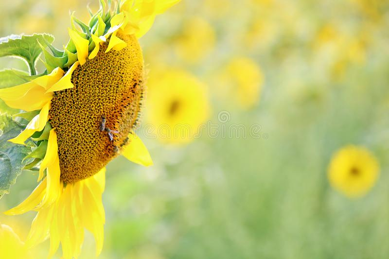 Detail of sunflower in field stock photos