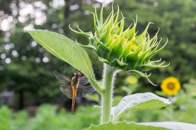Sunflower with a dragonfly with bokeh royalty free stock image
