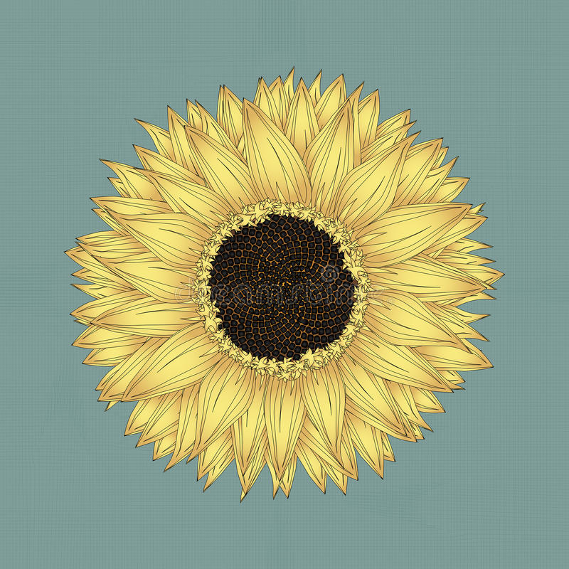 Download Sunflower drawing stock vector. Illustration of decorative - 34655866