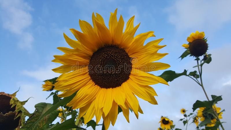 The sunflower is exposed to the sun stock image