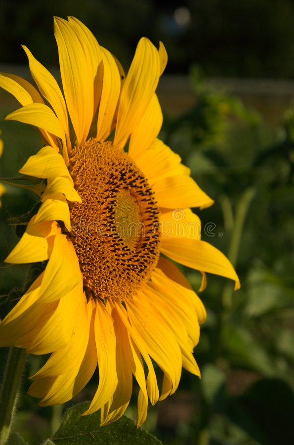 Download Sunflower face-to-face stock image. Image of field, bumblebee - 1018207