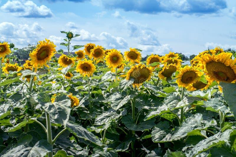 Sunflower farm in Michigan USA royalty free stock photo