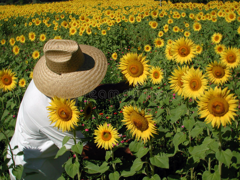 Sunflower Farmer stock images