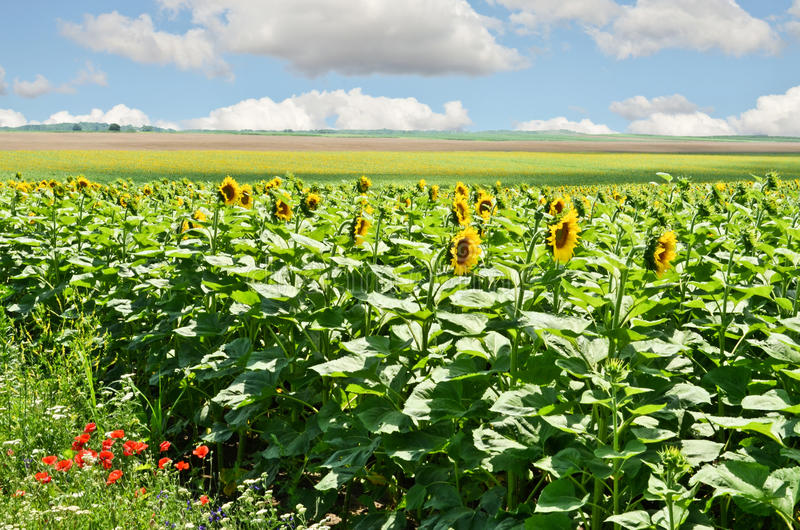 Sunflower Farmland stock image