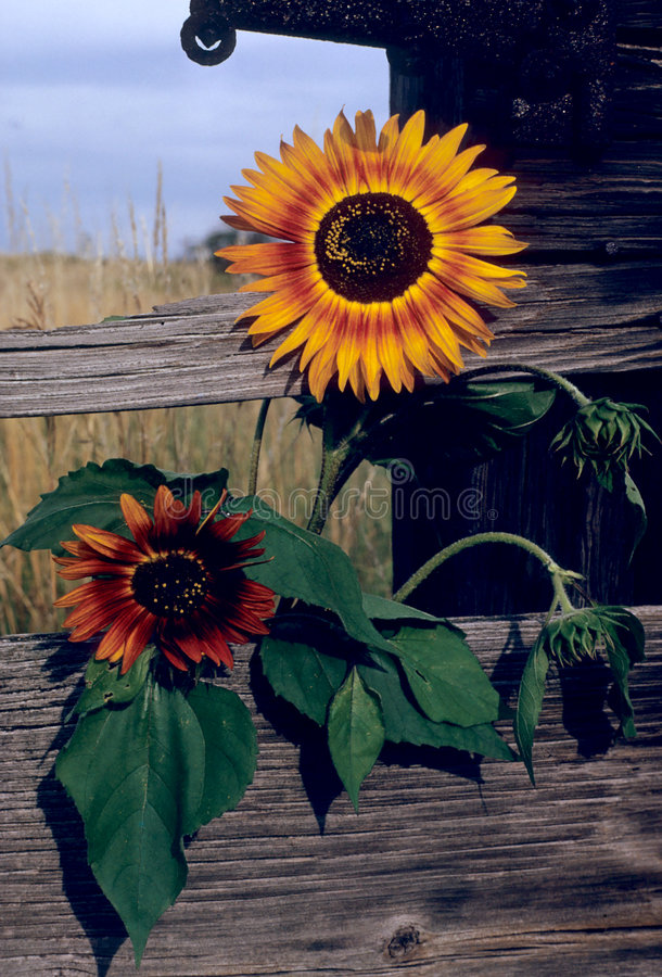 Sunflower fence. Two rogue sunflowers growing through a fence on a farm royalty free stock image