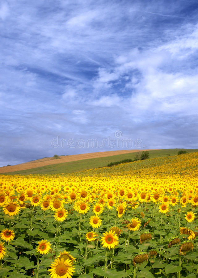 Download Sunflower Field Royalty Free Stock Image - Image: 12558756