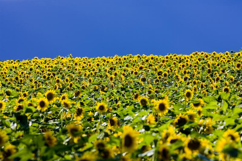 Sunflower field. Outdoor, outdoors, outside, exterior, exteriors, nature, natural, botany, flora, growth, vegetation, plant, plants, flowers, sunflowers royalty free stock image