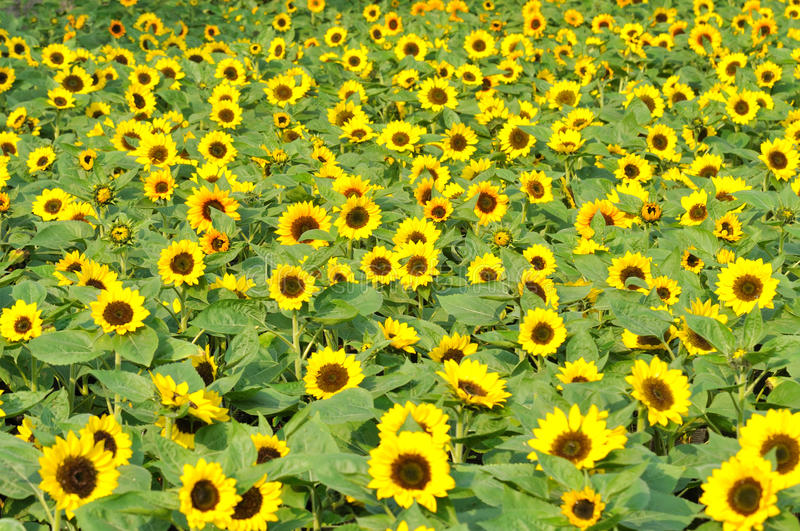 Download Sunflower field stock photo. Image of yellow, prosperity - 17258888