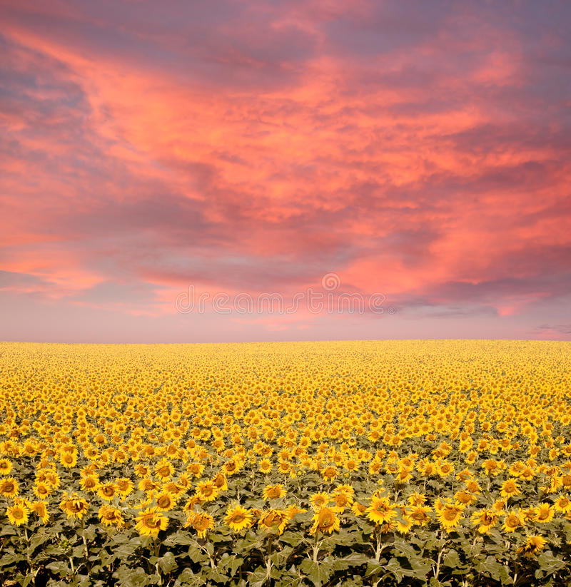 Download Sunflower Field stock photo. Image of photo, bright, landscape - 19210828