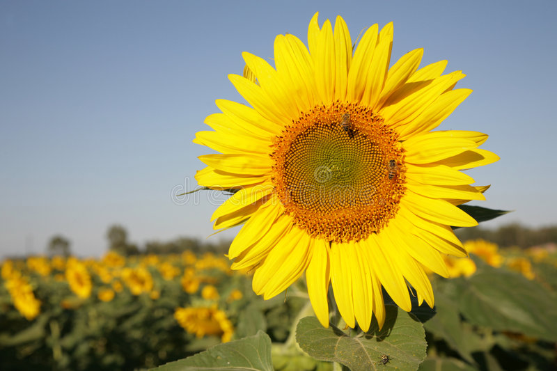 Download Sunflower in field stock photo. Image of flower, blooms - 2189992