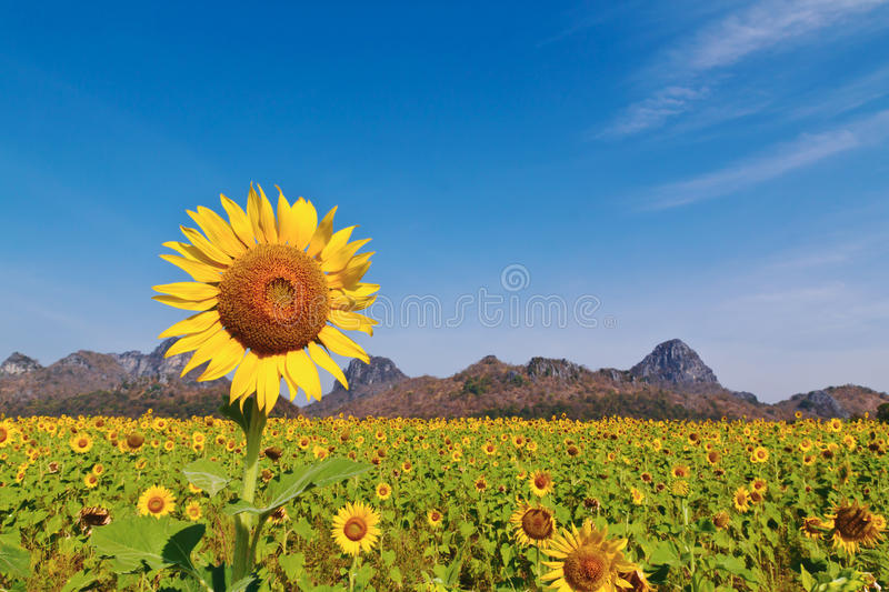Sunflower field. Background mounten and blue sky stock image