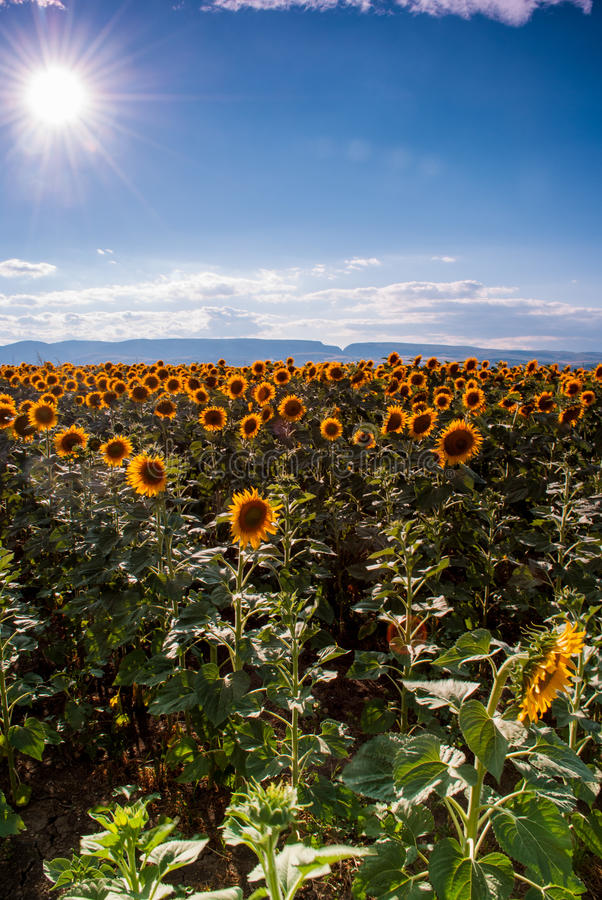 Download Sunflower field stock image. Image of life, sunflower - 27040717