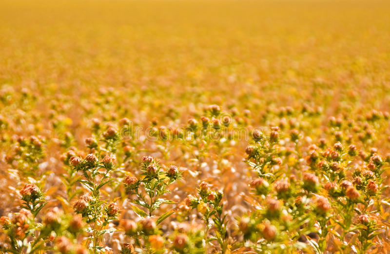 Download Sunflower Field stock photo. Image of annuus, annual - 27206546