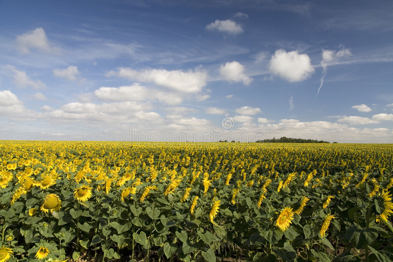 Sunflower field. And blue sky with clouds stock image