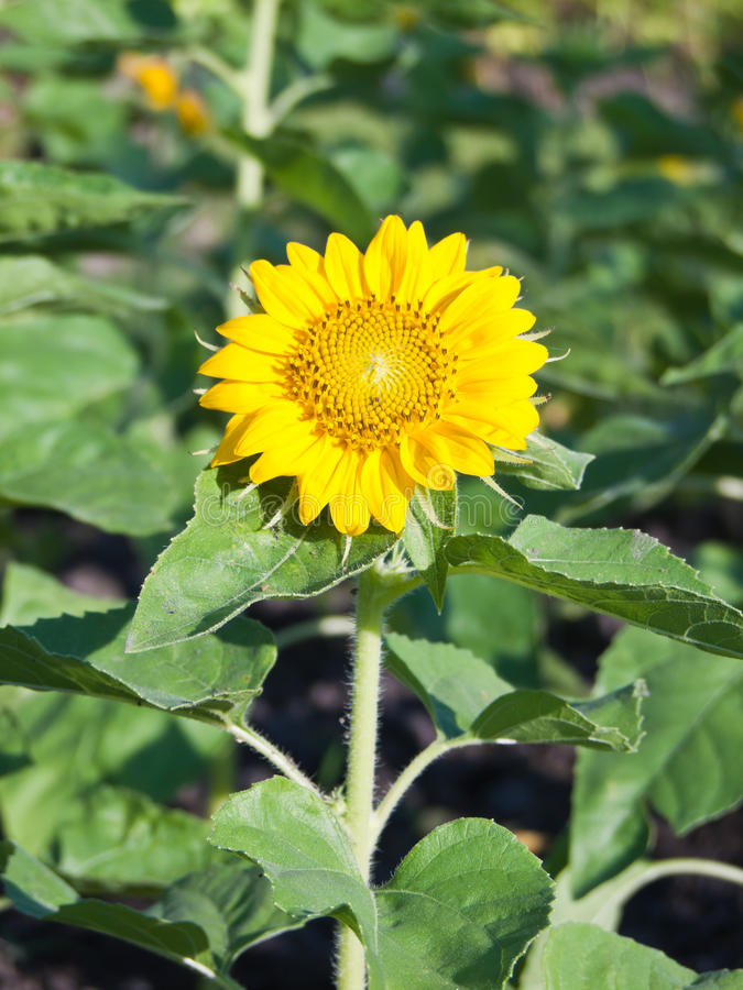 Download Sunflower field. stock image. Image of clear, floral - 28807729